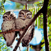 applespice: they are adorable owls ([animals] owlies)