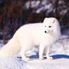applespice: it is an arctic fox ([animals] arctic fox)