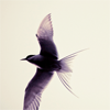 applespice: it is a bird in flight ([animals] bird in flight)