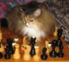 sibirian_cat: (шахматы)