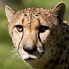 armtuk: Cheetah (Default)
