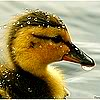 quackquack: a brown and yellow duckling with a bead of water on its beak (Default)
