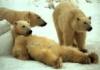 frallik: (медведи)