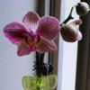 starzki: (orchid)