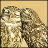 find_a_player: Owls (pic#5463206)