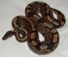 python_regius: (Default)