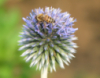 owls_roost: Hony bee (blue buzz)