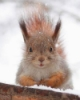 lanny_skiurus: (Белка в снегу)