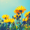 wishfulclicking: sunflowers behind blue sky (gen: flowers)