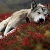 silverraven: (wolf 1)