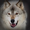silverraven: (wolf 3)