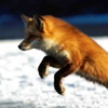 miss_adventure: (fox saves the day)
