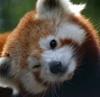 firecat: red panda, winking (winking)