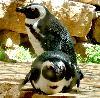 baykolub: (пингвины)