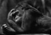 brueggen: (горилла)