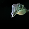 architeuthis: isolated cuttlefish (oh dear)