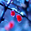 sholio: Ice-covered berries (Winter-icy berries)
