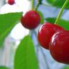 6_cherry_9: ()