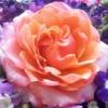 ambustio: (rose)