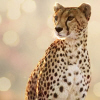 leesa_perrie: icon of  a cheetah, looking left (Cheetah 1)