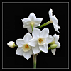 paperwhite: (paperwhite narcissus)