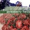 mariam_tigress: (strawberry fields)
