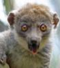ztatyan: (Lemur)