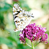 susanreads: a butterfly on a flower (lilac) (butterfly, summer)