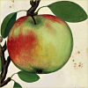quillori: illustration of an apple (theme: temptation (apple), cooking: apple, theme: knowledge (apple))