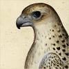 quillori: old illustration of a falcon (subject: falcon)