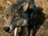 knitekat: (direwolf)