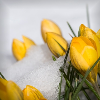 glinda: yellow crocus on a bed of snow (snow crocus)