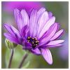 porphyra: (flower)
