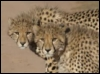 cheetah_dreams: (Default)