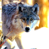 jb_slasher: beautiful wolf looking at camera; created by <user name=leesa_perrie> (wolf 1)