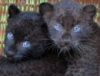 lechat_noir: (Nate's Cubs)