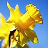 sevillana: (flowers ♥ daffodils beneath the tree)