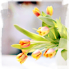 be_not_too_bold: Yellow tulips (Tulip)