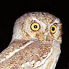ext_429145: (teh elf owl)