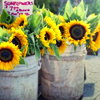 spikedluv: (summer: sunflowers by candi)