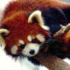 chimoehre: (red panda curious) (Default)