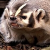 go_dog_go: a snarling badger (badass badger)