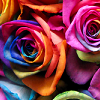 feuille: rainbow-coloured roses (rainbow roses)