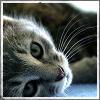 feuille: An grey kitten (grey kitty lying down)