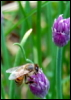 arsrevera: (bee and purple flower)