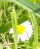 sfred: (daisy)