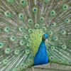 sfred: (peacock)