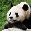 clanoftheraven: (panda)
