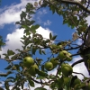 ext_462124: An apple tree (apples)