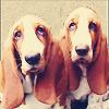 themistoklis: Two big-eyed basset hounds (Basset hounds)